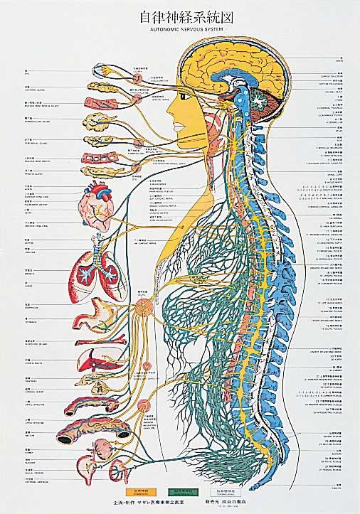 自立神経系統図。千葉県柏市で整体をお探しなら宮田カイロプラクティック!